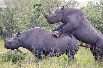 Black Rhinoceros Mating
